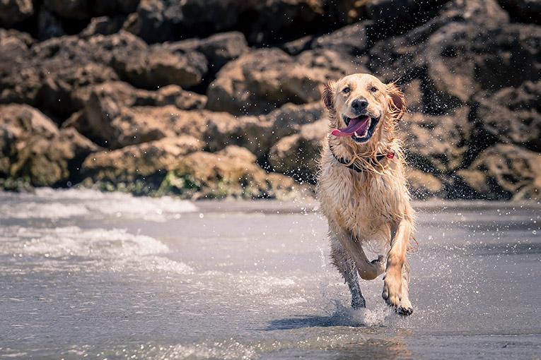 Charlie, Golden Retriever (at the beach)