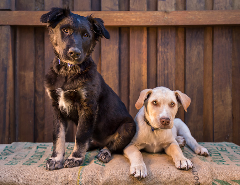 Chase and Neo, Labrador X puppies (photo shoot in Newcastle)