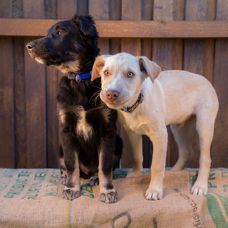 Chase and Neo, Labrador X puppies (photo shoot)