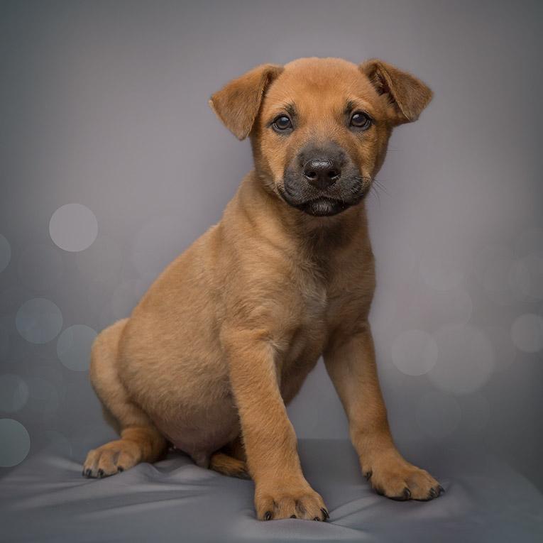 Chisel, German Shepard X Puppy (studio photo shoot)