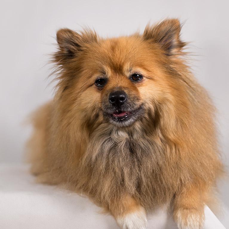 Honey, Pomeranian (studio dog photo shoot)