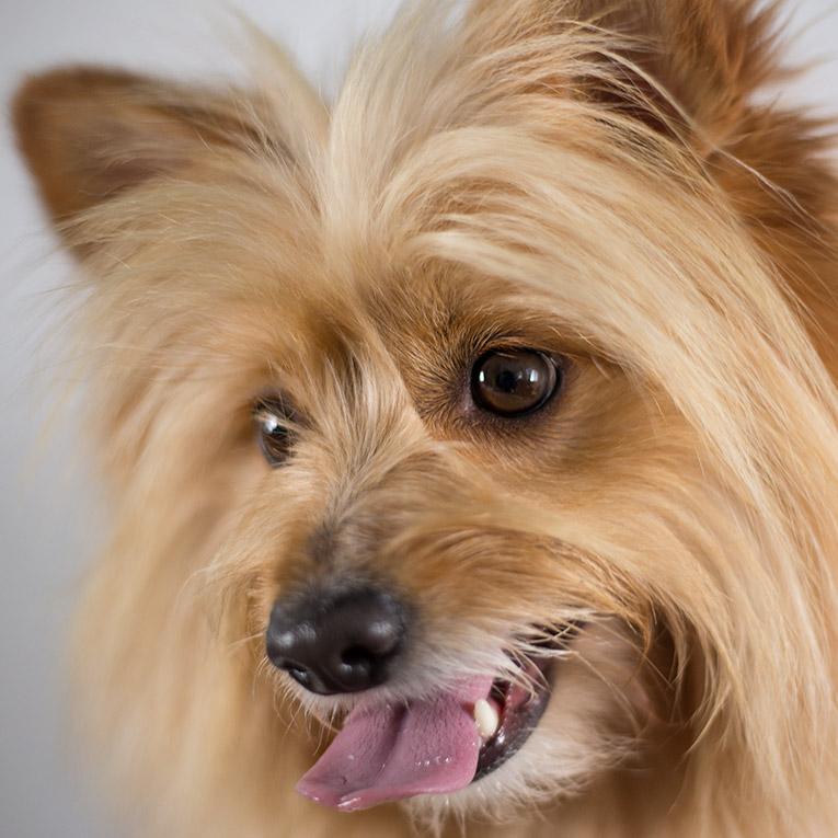 Jordie, Pomeranian X (close up dog portrait)