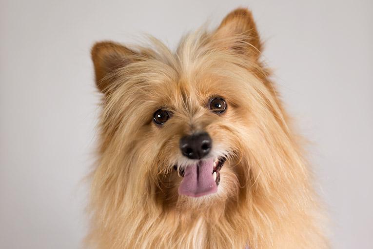 Jordie, Pomeranian X dog