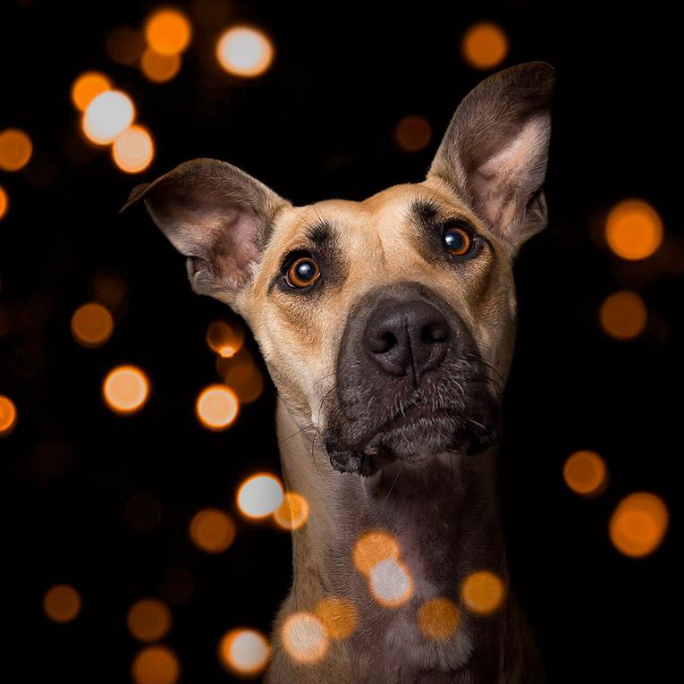 Luna, Greyhound X (dog photo studio, Newcastle)