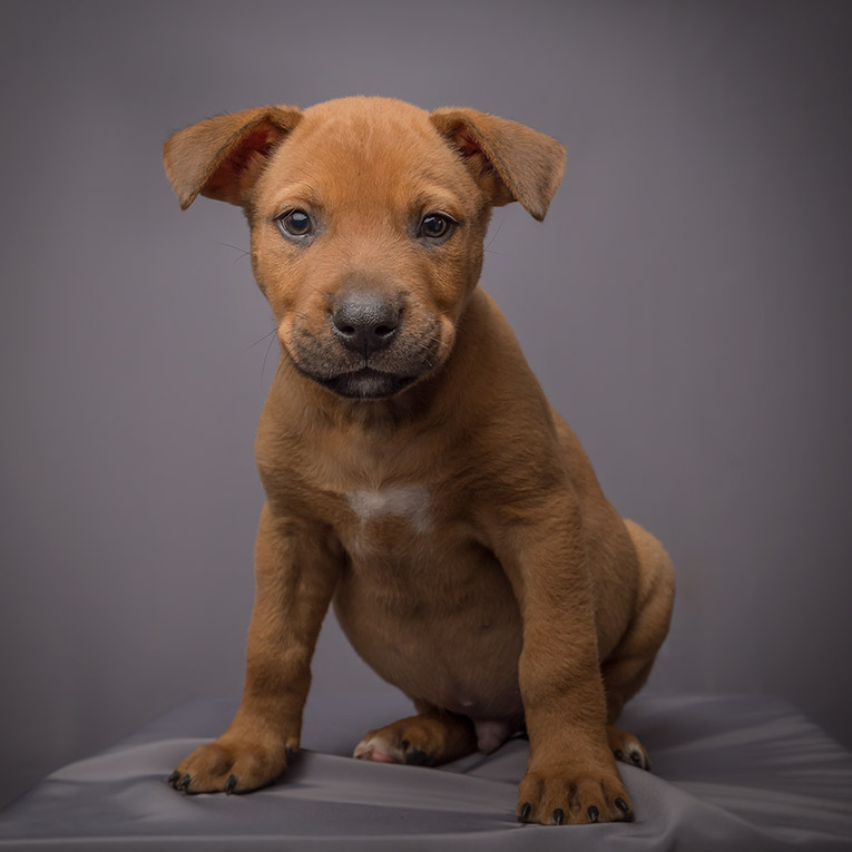 Motley, German Shepard X Puppy