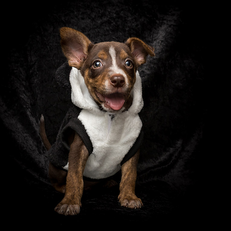 Scout, Kelpie X Cattle Dog puppy (photo shoot in costume)