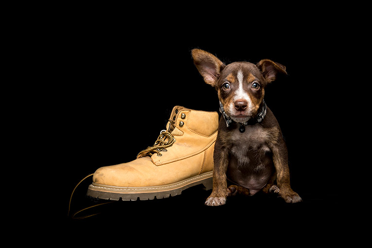 Scout, Kelpie X Cattle Dog puppy (mobile studio photo shoot)