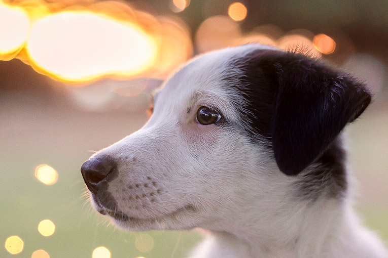Thunder, Border Collie X puppy (sunset photo shoot)