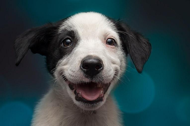 Thunder, Border Collie X puppy (indoor studio photo)