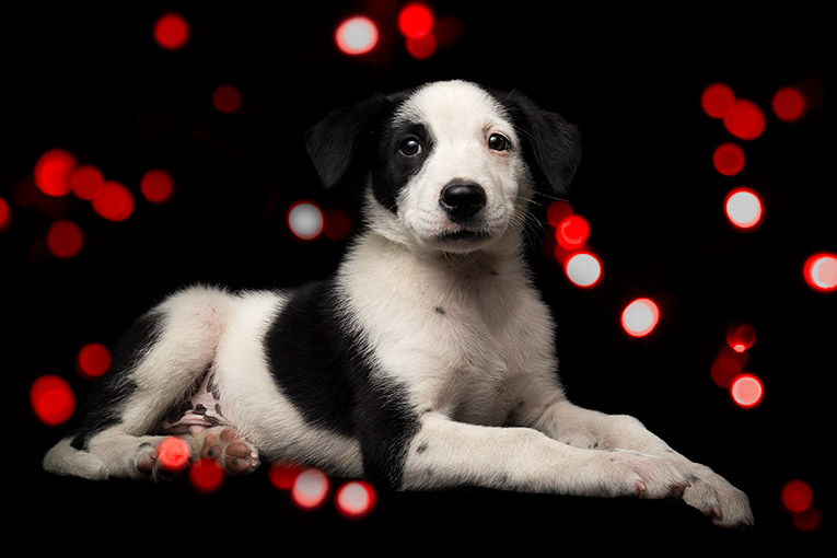 Thunder, Border Collie X puppy (indoor photo shoot)